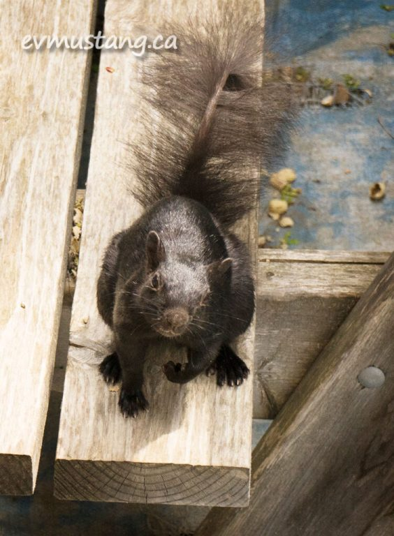image of nibi the water squirrel sitting on a picnic table bench looking expectantly into the camera.