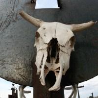 Cattle Skull Fisheye Style