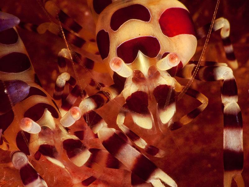 lapus lapus dive site malapascua evolution diving
