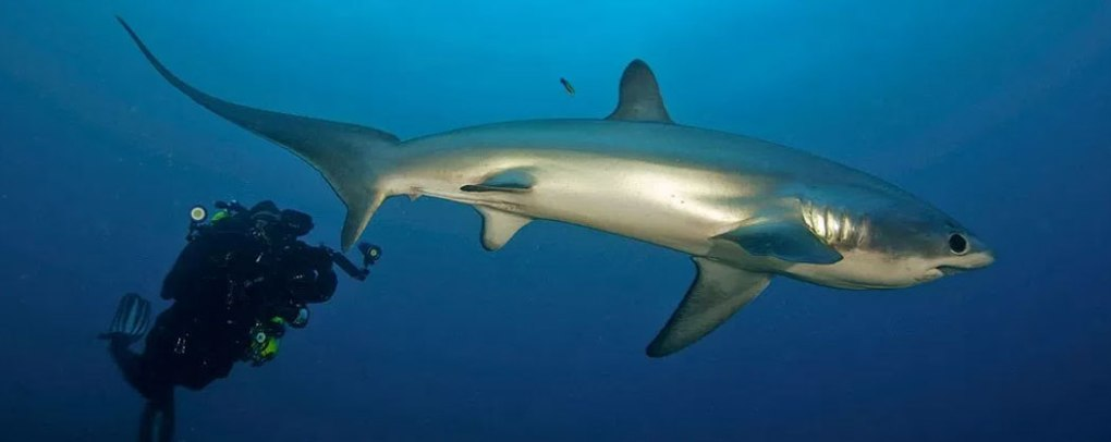 thresher shark encounters malapascua philippines