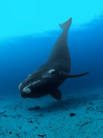 right-whale11