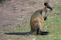 Wallabia bicolor swamp wallaby captive Brisbane, Australia-2852 low res