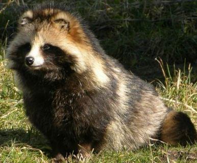 raccoon-dog-nice-coat