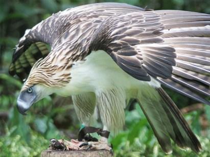 philippine-eagle_img01-l