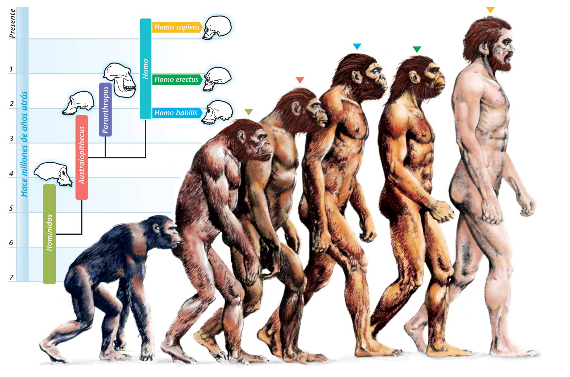 Image result for image of the evolution of humans