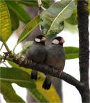 Java Sparrows Big Island 2012