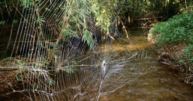 Hasil gambar untuk darwin's bark spider web