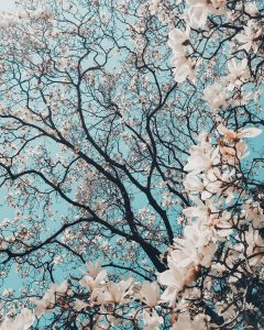 cherry blossom trees against turquoise sky