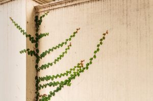green vine growing on light-colored wall