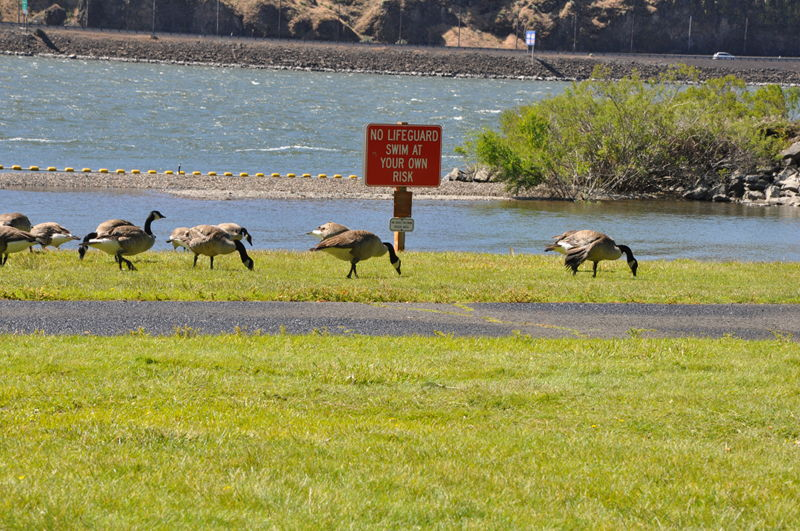 Geese eating on the grass next to the swimming area at Maryhill State Park.