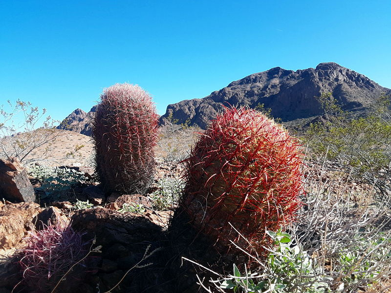 A barrel cactus with mountains in the background in Kofa Wildlife Refuge.