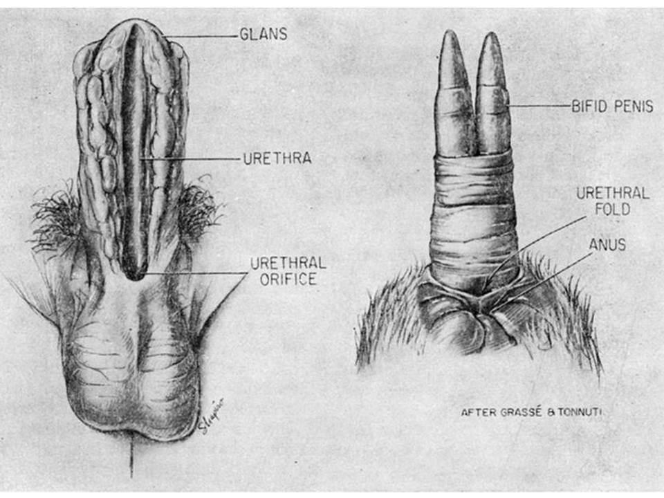 Was subincision kangaroo penis envy? (Singer & Desole 1967)