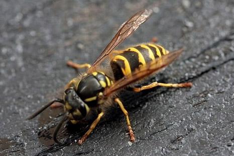 wasp02 - Wasps