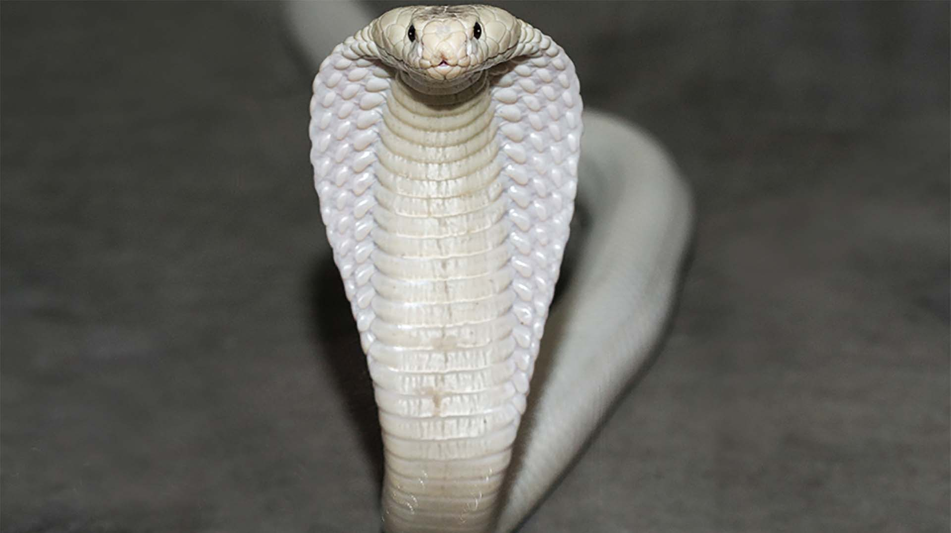 white-king-cobra