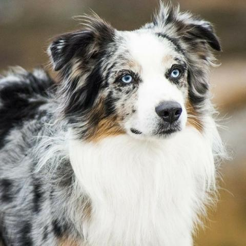 australian-shepherd-dog-breed