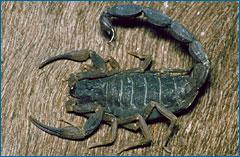Scorpion2.jpg