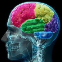Hızlı Beyincik Gelişimi İnsan Evrimini Şekillendirebilir