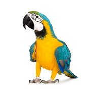Parrot - Word of the day - EVS Translations