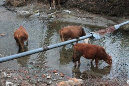Cows are drinking in a river near Bran