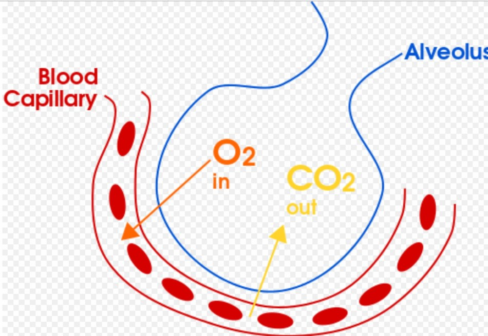 Exchange of O2 and CO2 in the alveolus sac