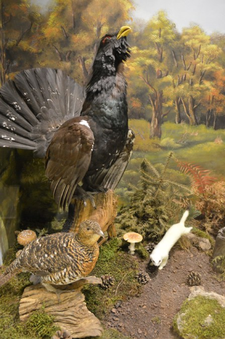 The western capercaillie (Tetrao urogallus)
