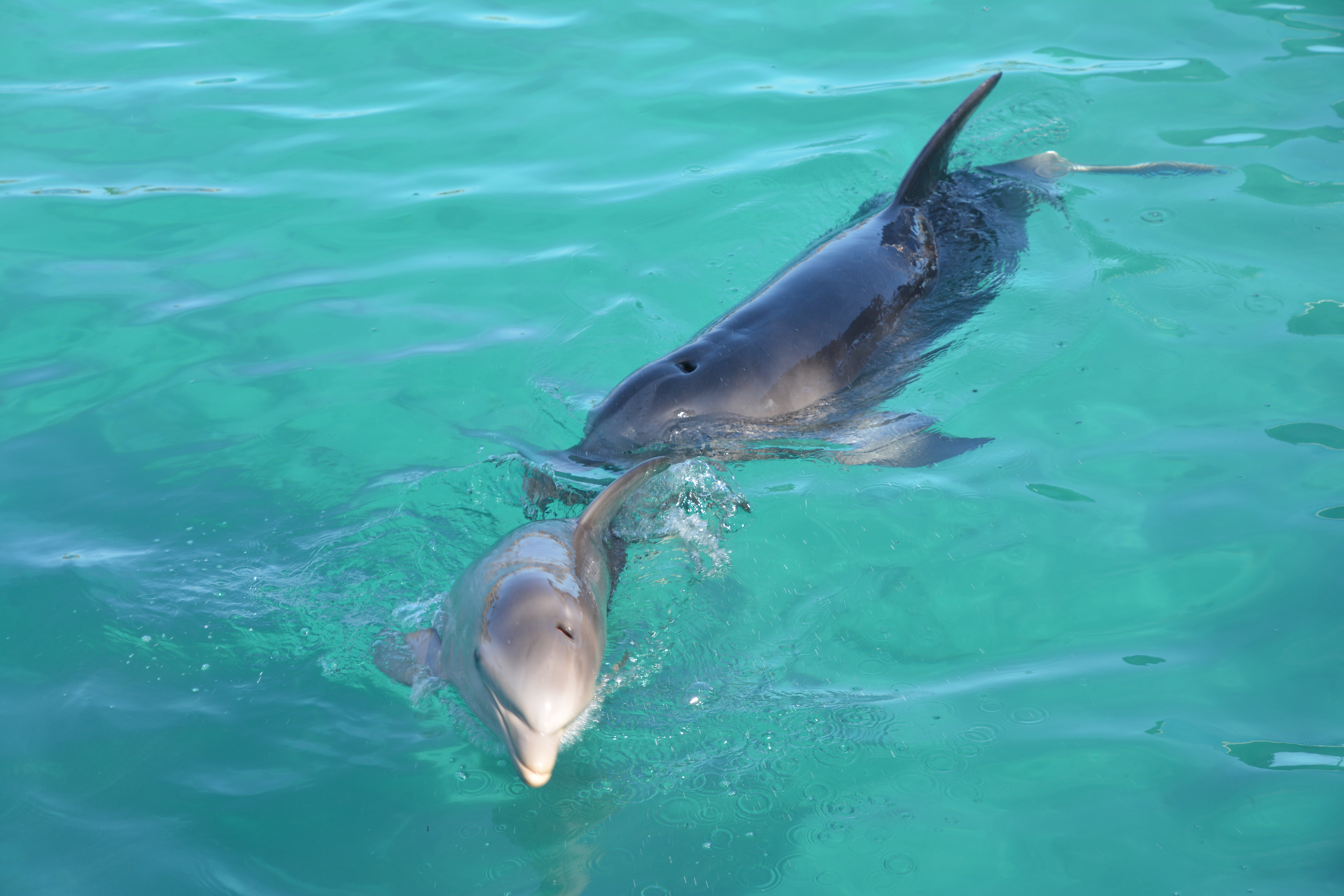 "52-year-old dolphin gives birth to ""Baby Duchess"" at Blue Lagoon Island"