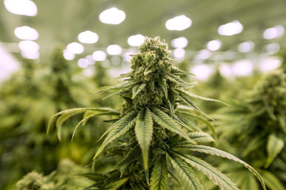 Marijuana commission on hold, PM says focus is COVID-19