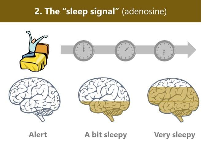 Sleep signal (adenosine) builds in the brain while we're awake, making us feel increasingly sleepy
