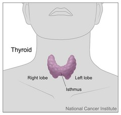 थाराइड ग्रंथि (Thyroid Gland)