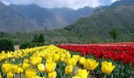 tulip-garden-kashmir