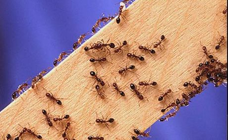 gs-fire-ants07_t460