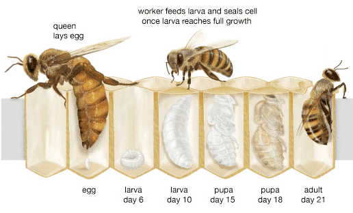 Η αναπαραγωγή των μελισσών