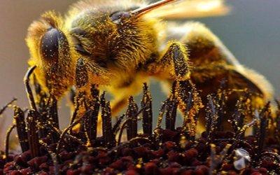 Αυστραλία   Μέλισσες που θεραπεύουν…