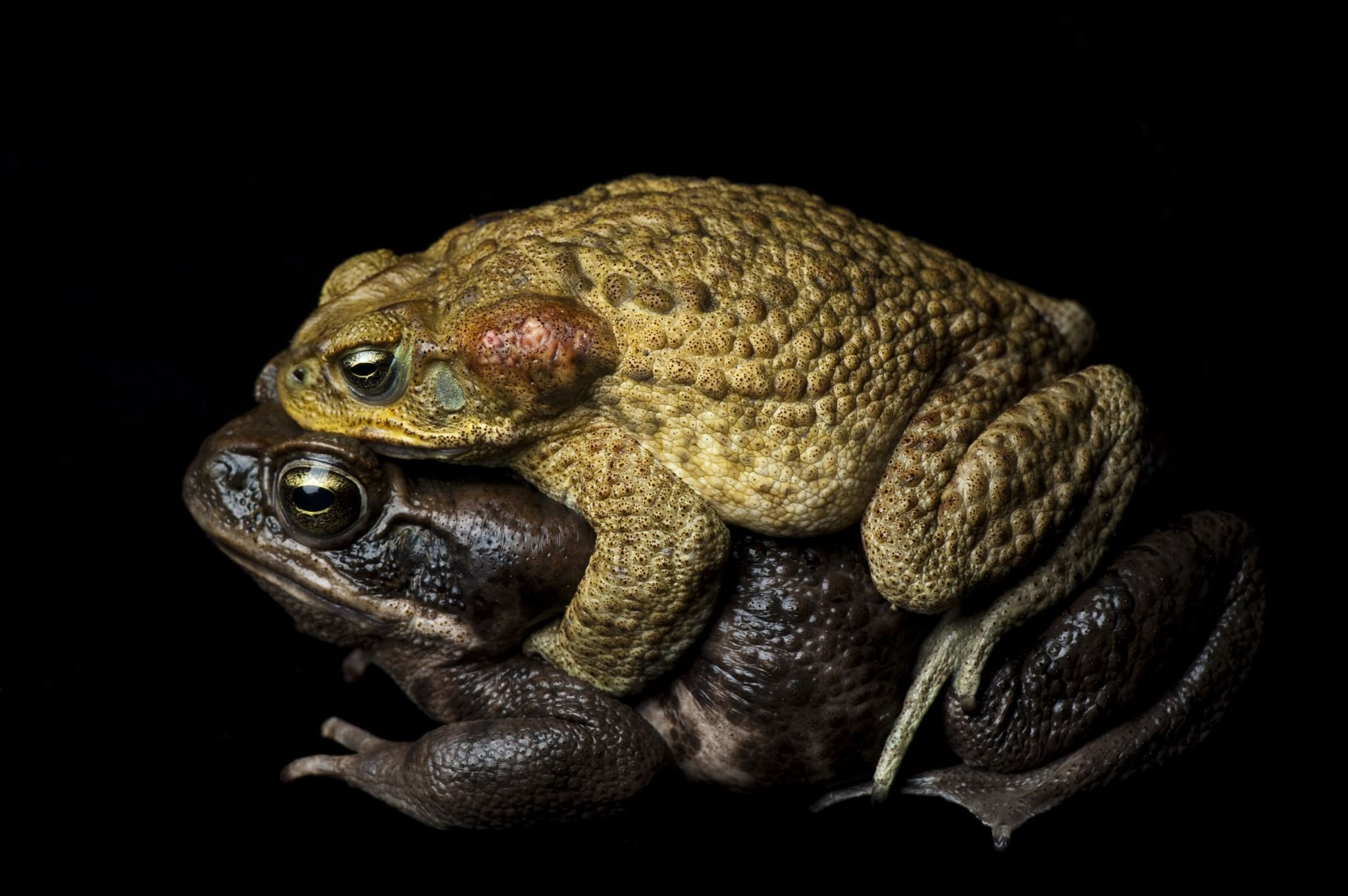 Cane Toads Video Worksheet Answers