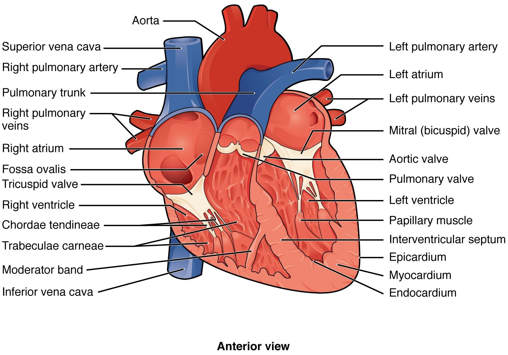 Heart Valves And The Cardiac Cycle Worksheet Answers