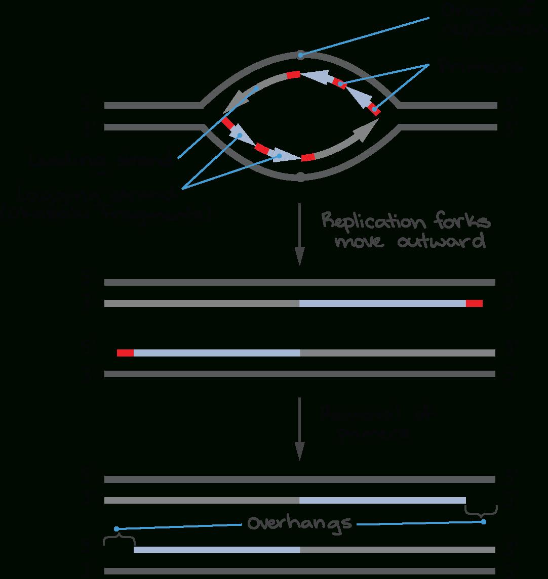 Telomeres And Telomerase Article Khan Academy Or Dna