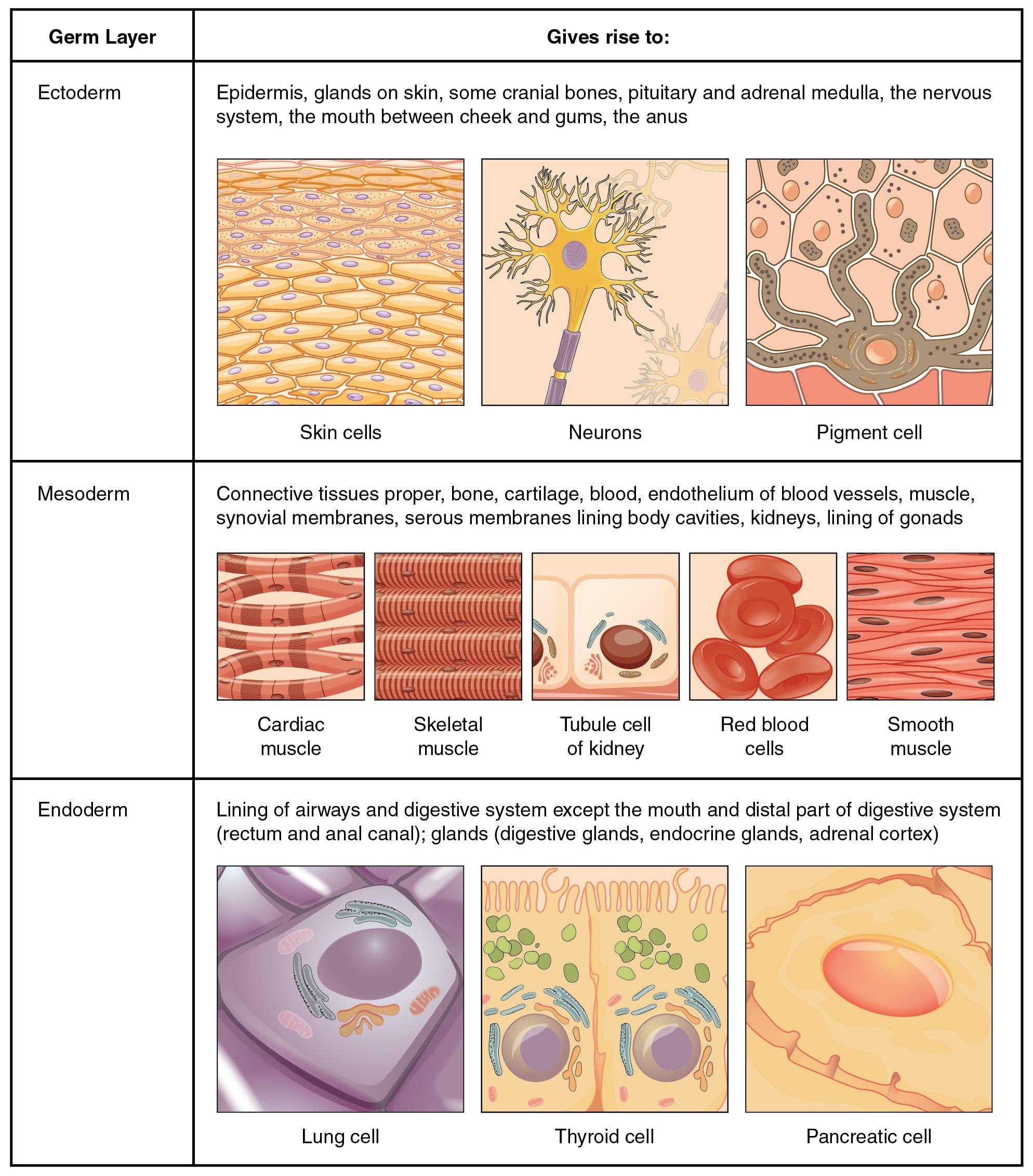 Body Tissues Worksheet Excelguider