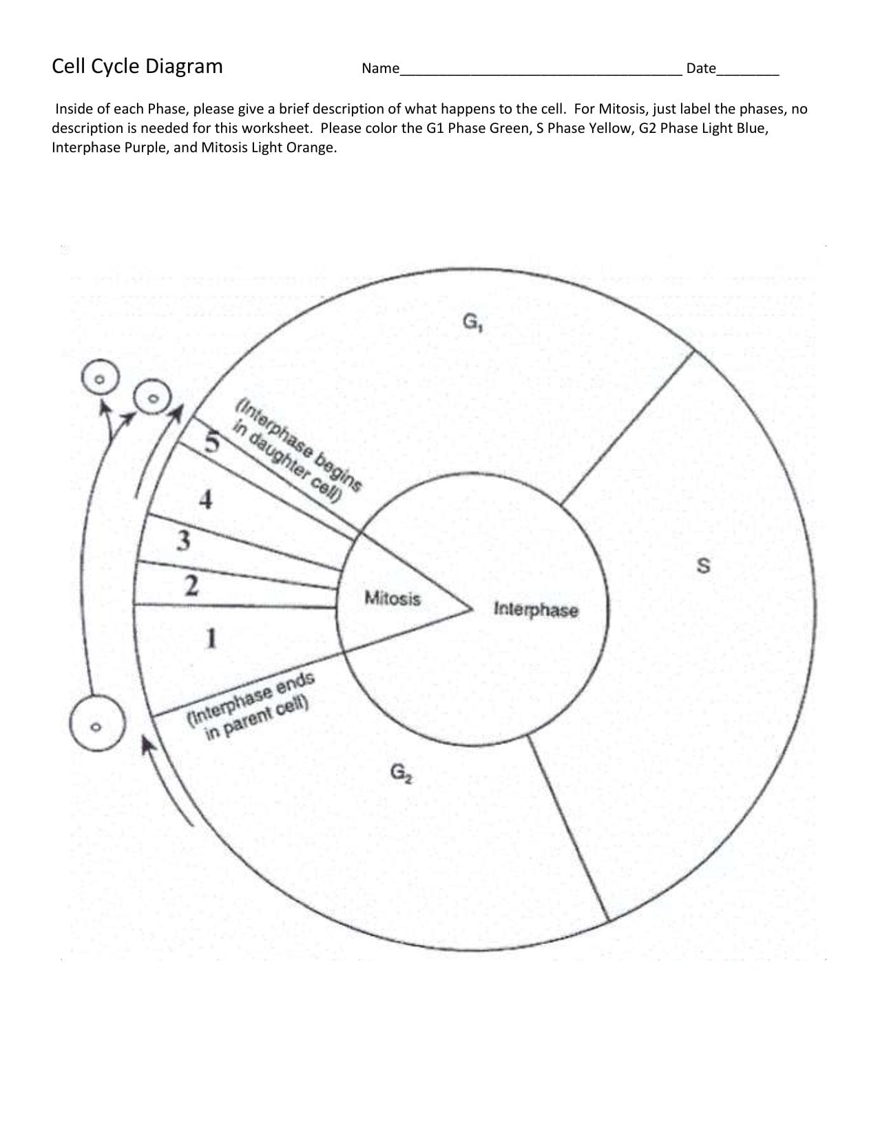 Cell Cycle Labeling Worksheet Completed