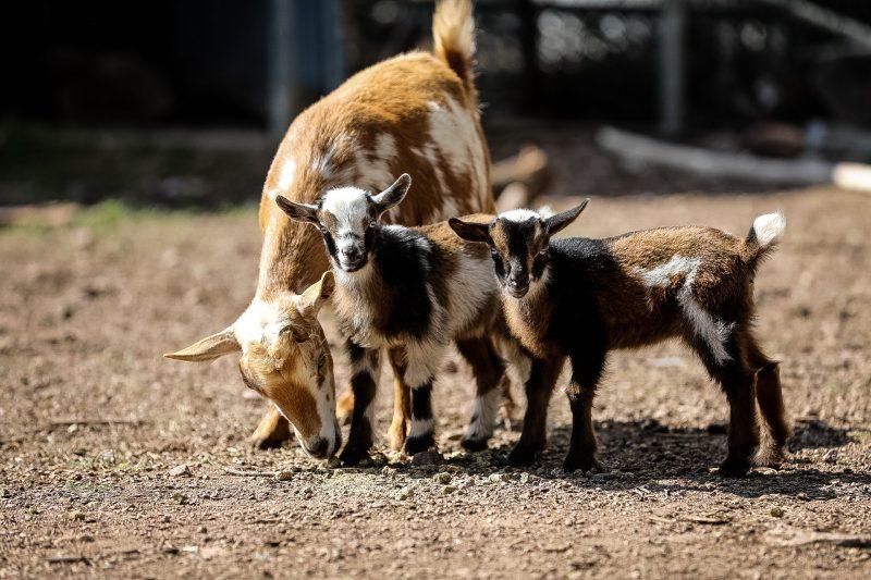 Goats Outside