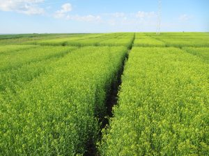 Fields of Camelina Flowering