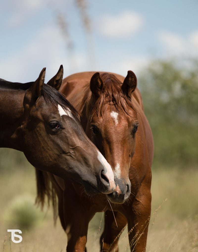 Brown and Chestnut Horse