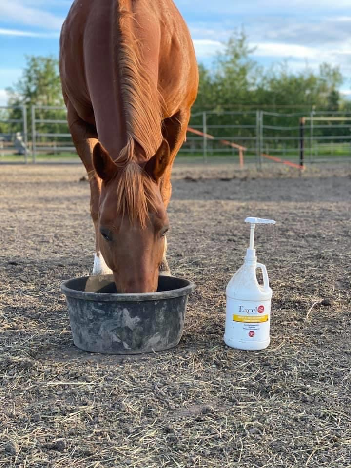 Chestnut horse with Excel Pro Elite Camelina Oil horse supplement with omega 3, 6, and 9.
