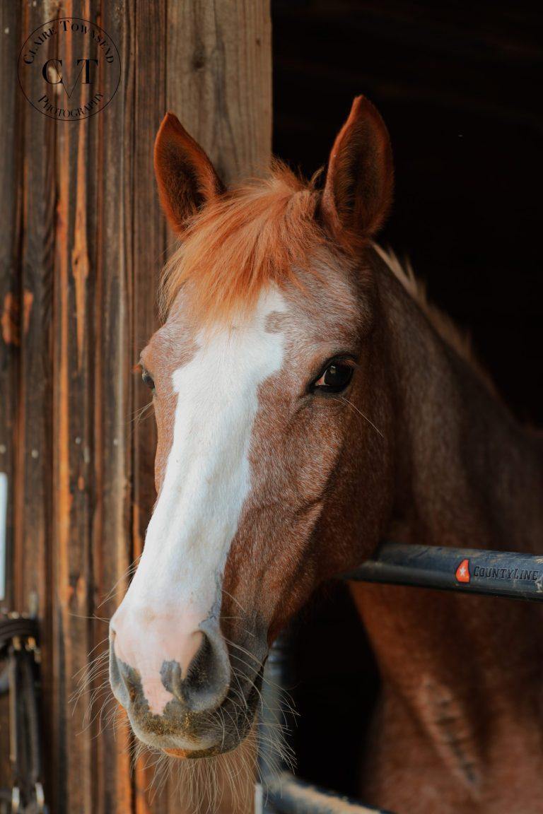 Strawberry Roan Pony