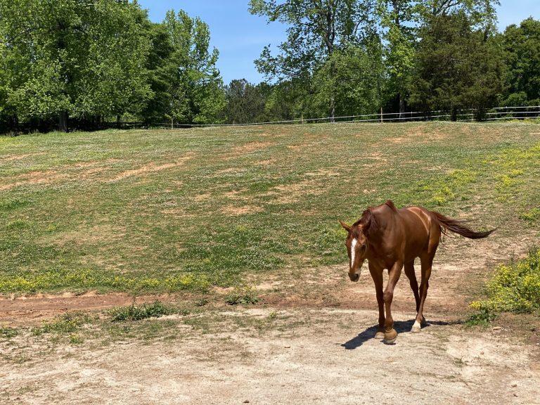 Chestnut Horse for Lease