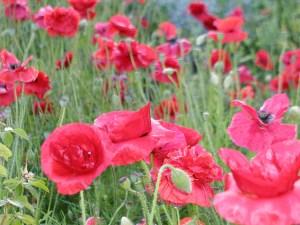 Van Dusen poppies 2009