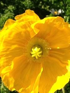 Yellow SF Poppy