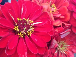Fall - Red Zinnias