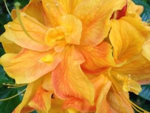 yellow and pink-orange rhodo