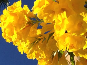 yellow arizona flower and blue blue sky Copyright Shelagh Donnelly
