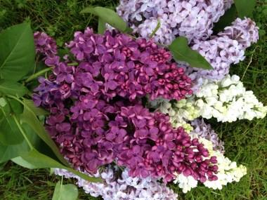 Mum's Lilacs Copyright Shelagh Donnelly